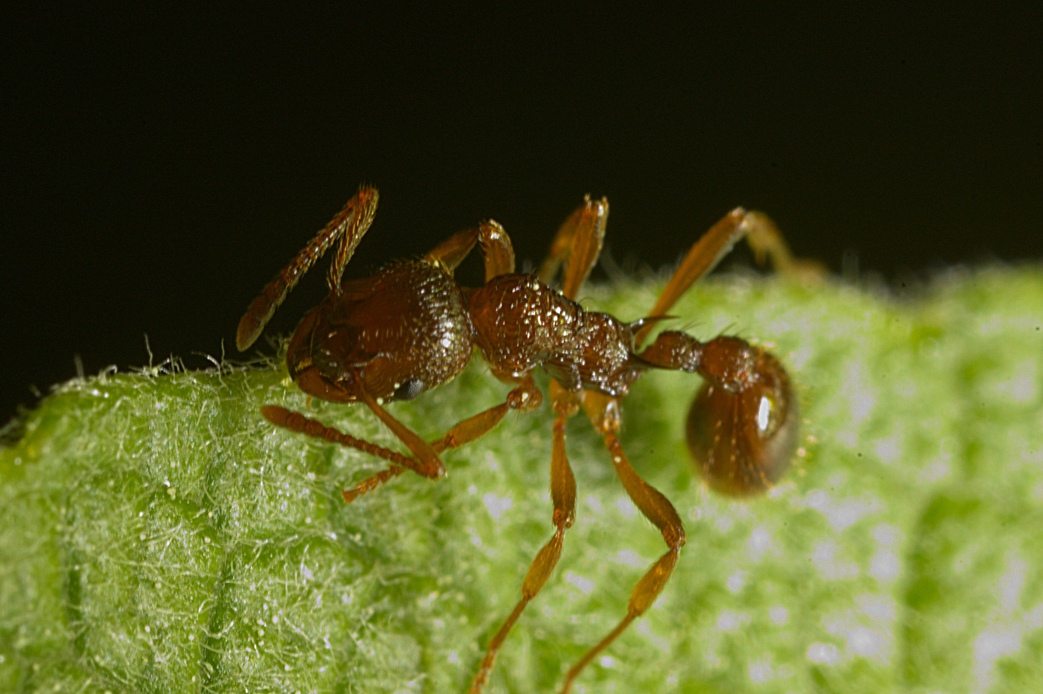 image of Myrmica rubra by Kjetil Fjellheim