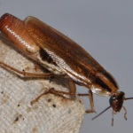 german cockroach carrying ootheca