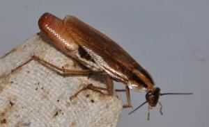 german cockroach carrying ootheca