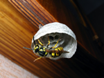 new wasp nest
