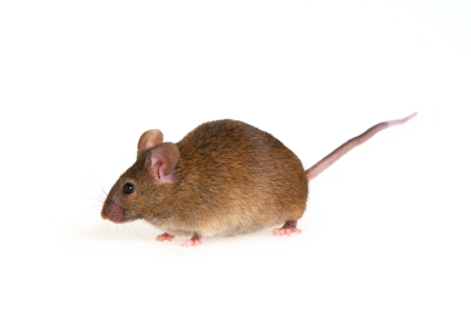 House Mouse (Mus domesticus)
