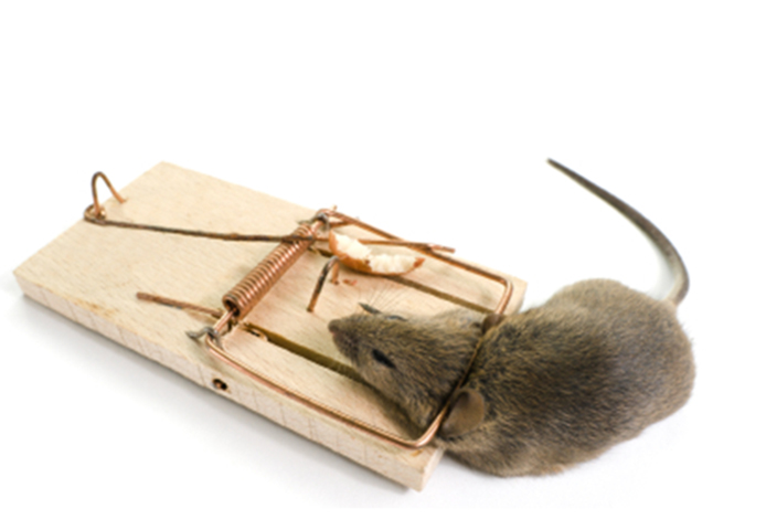 Mouse caught in a break-back trap